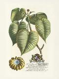 The Duke Of Dorset Botanical Premium Giclee Print by Georg Ehret