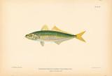 Decapterus Punctatus Scad Premium Giclee Print by A. Poiteau