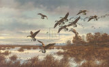 Coming In, Canada Geese Premium Giclee Print by David A Maass