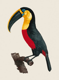 Le Grand Toucan Premium Giclee Print by Jacques Barraband