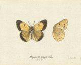 Papilio Edusa Premium Giclee Print by A. Poiteau