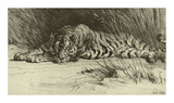 Tiger Resting Premium Giclee Print by Herbert Dicksee