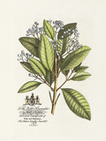 The Earl Of Halifax Botanical Premium Giclee Print by Georg Ehret