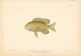 Eupomacentrus Fuscus Premium Giclee Print by A. Poiteau