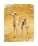 Whippet Study Premium Giclee Print by Susan Crawford