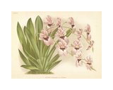 Hothouse Orchids II Premium Giclee Print by A. Poiteau