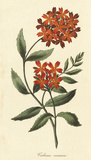 Verbena Coccinea Premium Giclee Print by A. Poiteau