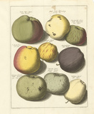 Orchard Apples I Premium Giclee Print by A. Poiteau