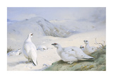 Ptarmigan in Winter Premium Giclee Print by Archibald Thorburn