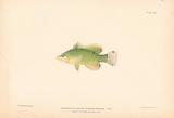 Doratonotus Decoris Premium Giclee Print by A. Poiteau