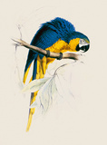 Blue and Yellow Maccaw Giclée-Premiumdruck von Edward Lear