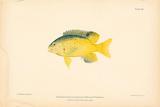 Eupomacentrus Leucostictus Premium Giclee Print by A. Poiteau
