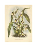 Hothouse Orchids IV Premium Giclee Print by A. Poiteau