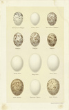 Oology II Premium Giclee Print by A. Poiteau
