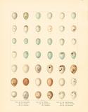 Oology XI Premium Giclee Print by A. Poiteau