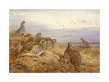 English Partridges Premium Giclee Print by Archibald Thorburn