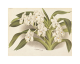 Hothouse Orchids I Premium Giclee Print by A. Poiteau
