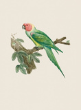Le Petit Ara Premium Giclee Print by Jacques Barraband