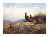 A Group of Red Grouse Premium Giclee Print by Archibald Thorburn