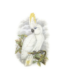 Cacatua Ophthalmica II Premium Giclee Print by William Hart