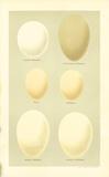 Oology IX Giclee-tryk i høj kvalitet af A. Poiteau