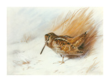 A Woodcock Among Reeds Premium Giclee Print by Archibald Thorburn