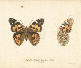 Papilio Nymph Cardui Premium Giclee Print by A. Poiteau