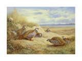 French Partridges Premium Giclee Print by Archibald Thorburn