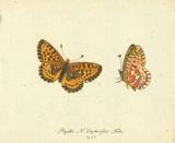 Papilio Euphrosyne Premium Giclee Print by A. Poiteau