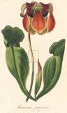 Saracenia Purpurca Giclee-tryk i høj kvalitet af A. Poiteau