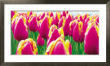 Tulips Posters by Jan Lens