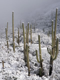 Snow Covers Desert Vegetation at the Entrance to the Santa Catalina Mountains in Tucson, Arizona Photographic Print