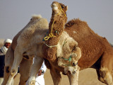 Camels Fight During the 36th Sahara Festival of Douz, Southern Tunisia Photographic Print