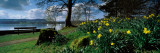 Daffodils at the Lakeside, Lake Windermere, English Lake District, Cumbria, England Photographic Print by Panoramic Images