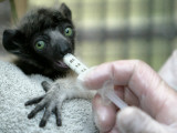 Veterinarian Feeds a Baby Crowned Sifaka Lemur Named Tilavo at the Vincennes Zoo Photographic Print