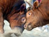 Two South Korean Bulls Lock Horns in the 2005 Bullfighting Festival in Seoul, South Korea Reproduction photographique