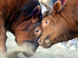 Two South Korean Bulls Lock Horns in the 2005 Bullfighting Festival in Seoul, South Korea Photographic Print