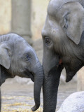 Four Month Old Elephant and Her Mother are Pictured in Hagenbeck's Zoo in Hamburg, Northern Germany Fotografie-Druck