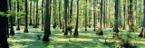 Cypress Trees in a Forest, Shawnee National Forest, Illinois, USA Stampa fotografica di Panoramic Images,