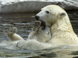 Polar Bear Cub Plays with His Mother in their Pool During Hot Weather at the Zoo in Stuttgart Photographic Print