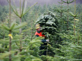Forest Worker Carries a Conifer in a Forest Near Pohnsdorf, Northern Germany Photographic Print