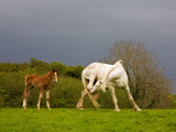 Itchy Mare and Foal, Co Derry, Ireland Photographic Print