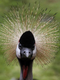 Black Crowned Crane as It Parades in the Bird Park in Walsrode Photographic Print