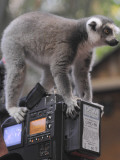 Ring Tailed Lemur Sitting on a TV Camera During a Press Call in Hagenbeck's Zoo in Hamburg Photographic Print