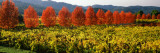 Crop in a Vineyard, Napa Valley, California, USA Photographic Print by Panoramic Images