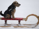 Dog is Pulled on a Sledge in the Snow in Gelsenkirchen, Germany Photographic Print