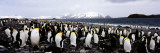 Colony of King Penguins on the Coast, Salisbury Plain, South Georgia Island Photographic Print by  Panoramic Images