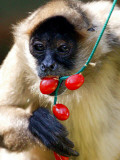 Carmen, a Spider Monkey, Eats Christmas Treats Hung by Staff at Taronga Zoo in Sydney Photographic Print