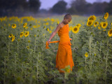 Novice Buddhist Monk Makes His Way Through a Field of Sunflowers as 10,000 Gather, Thailand Photographic Print