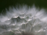 Top of a Dandelion Seed Head is Seen in the Morning Light in Marysville, Pennsylvania Lámina fotográfica